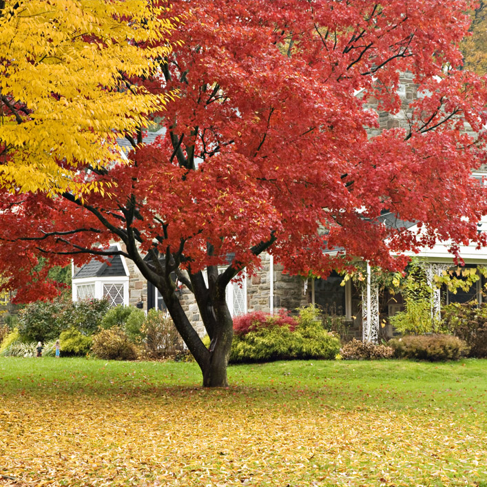 Tree with red leaves in front of a house